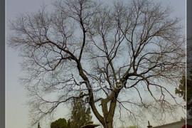 华清池的一棵树